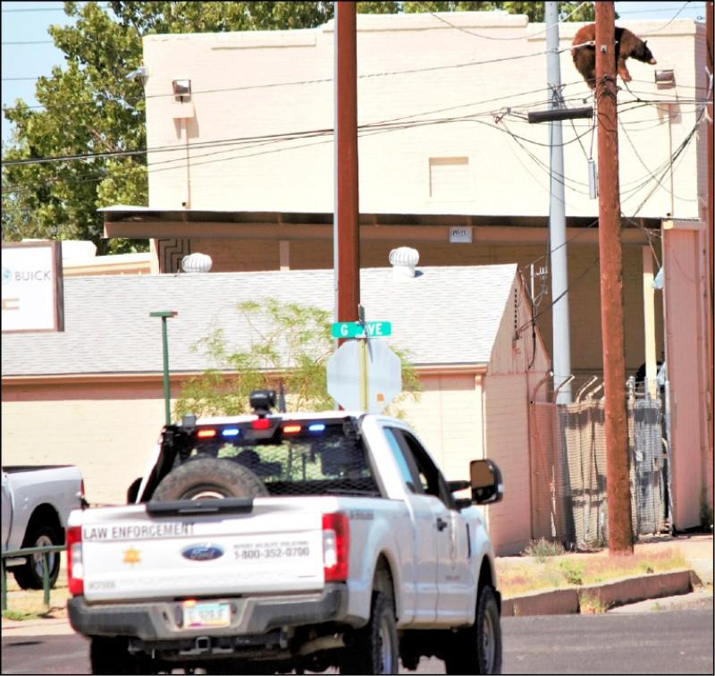 熊近日多次現蹤美國亞利桑那州南部城市,圖為上月9日在該州道格拉斯市從一根電線桿脫困爬下。(美聯社檔案照)
