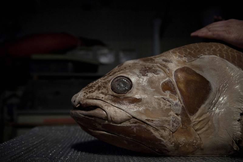 法國國家自然歷史博物館2019年重建腔棘魚的樣貌。(法新社)