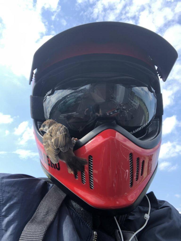 日本網友「鰻魚總裁」日前PO出了一張麻雀駐足在他安全帽上準備一起去兜風的照片,引發熱議。(圖翻攝自mnJZA80推特)