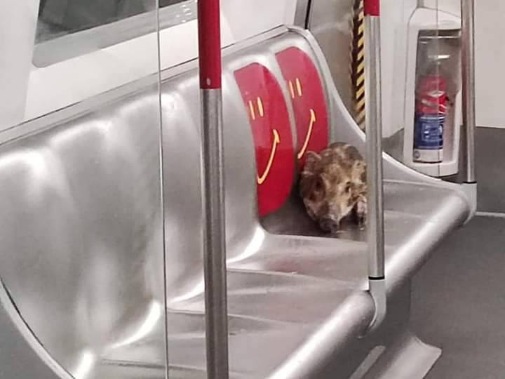 小野豬闖進香港地鐵獨自搭車,不僅懂得轉車還會坐博愛座。(圖擷自香港野豬關注組臉書)