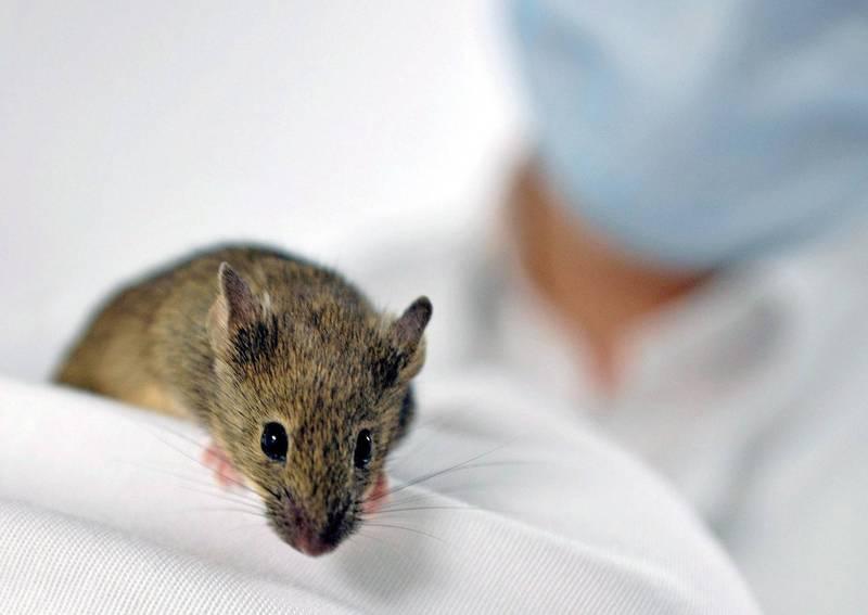 中國解放軍海軍醫學院、海軍醫科大學1項刊登在《生命科學》(bioRxiv)的器官移植研究顯示,在犧牲4隻母鼠後,成功讓公鼠懷孕並產下10隻幼鼠,實驗曝光後網友驚呼「太恐怖」。(歐新社檔案照)