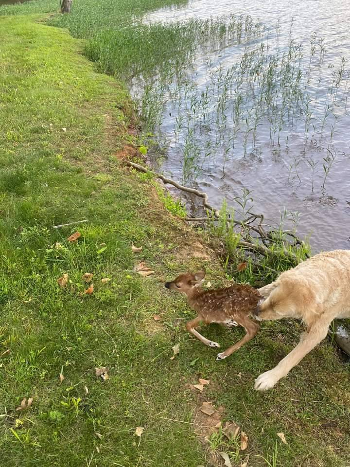 美國維吉尼亞州有隻小鹿不慎落湖,幸好被勇敢的黃金獵犬順利救起。(圖擷自Ralph Dorn臉書)