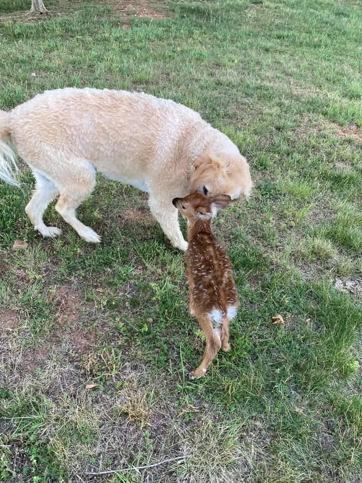 黃金獵犬將小鹿救起後,相當關心牠的狀況。(圖擷自Ralph Dorn臉書)