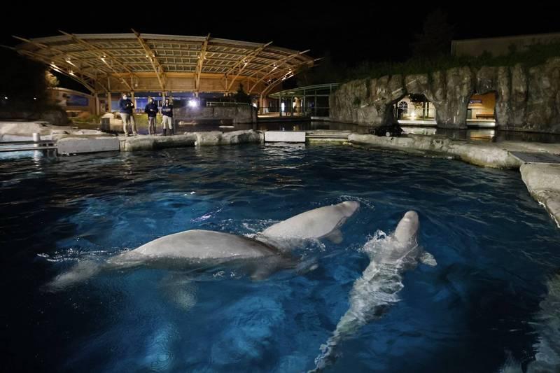美國神秘水族館表示,將會拍賣3隻白鯨的命名機會。(美聯社)