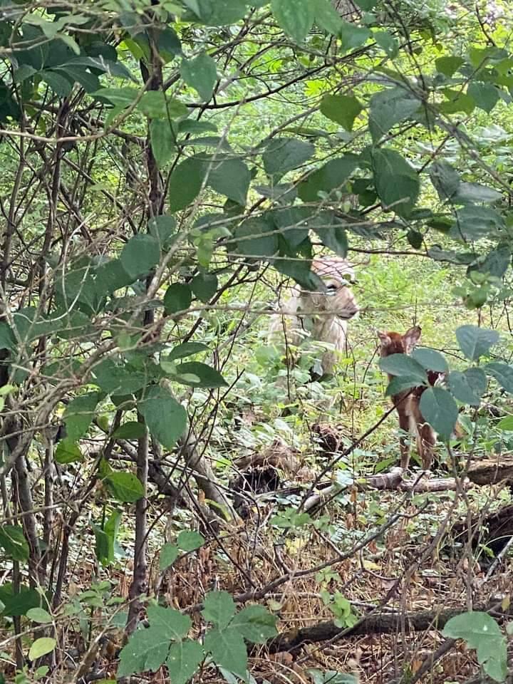小鹿隔天又來找狗狗道謝。(圖擷自Ralph Dorn臉書)