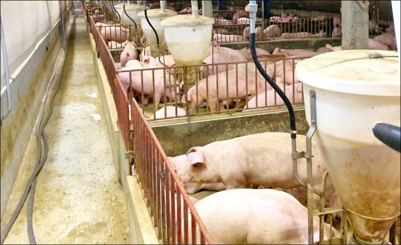 花蓮縣政府農業處輔導豬農申請設備轉型,今年度獲中央核定補助經費2900萬元,將導入新式整合型設施,提高育成率,降低環境污染。(圖由花蓮縣府農業處提供)