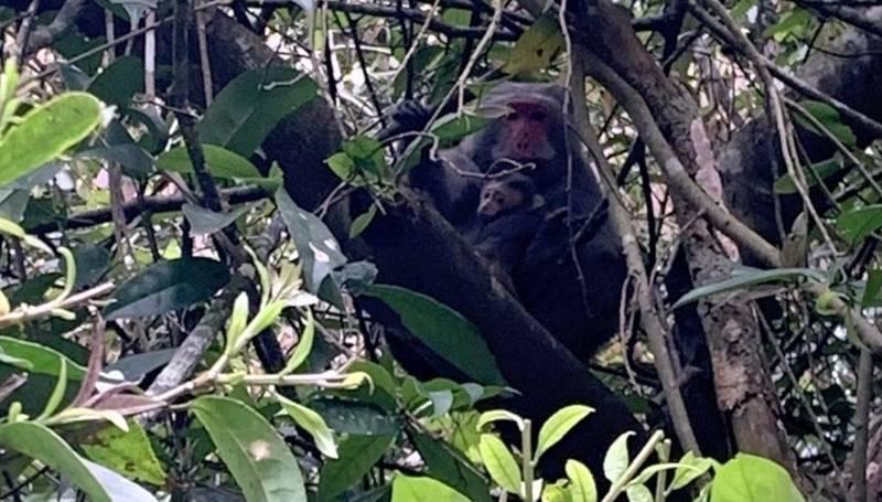 日月潭文武廟附近山林可見母猴將小猴抱在胸前情景。(民眾莊涼火提供)