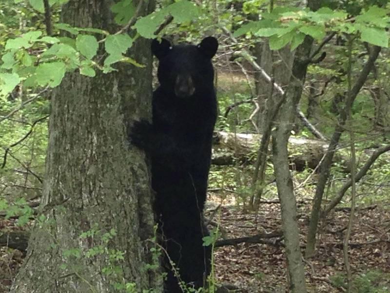 美國小鎮近來發生一連串闖入車內試圖行竊的案件,警方經過調查後赫然發現嫌犯是1隻黑熊。美國黑熊示意圖。(路透)