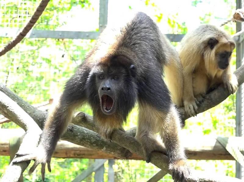 黑吼猴兄弟似乎還在練習發音,偶爾會聽到牠們喉嚨發出低而短的聲音。(動物園提供)