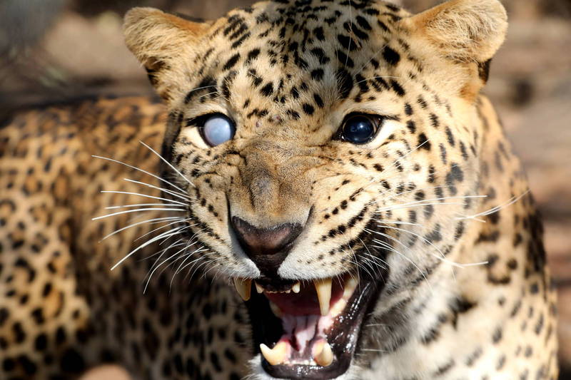 印度再度傳出野豹入侵民宅的事件。示意圖。(法新社)