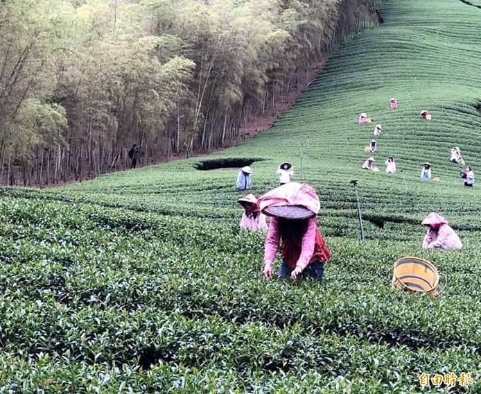 南投縣竹山鎮大鞍茶區茶農及採茶工認真工作情形。(資料照,記者謝介裕攝)