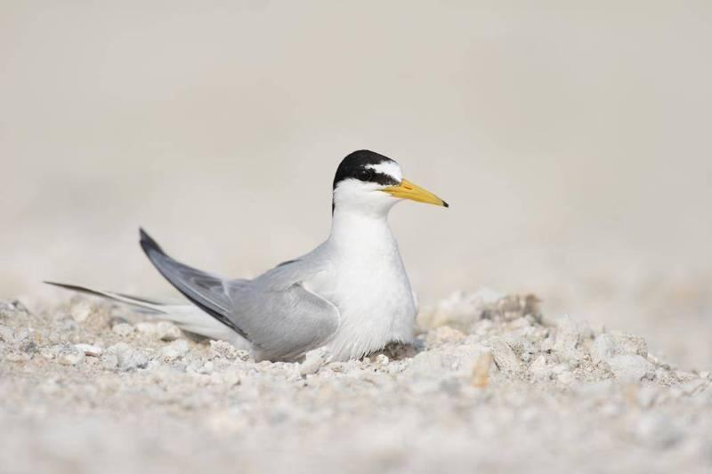 小燕鷗在澎湖繁殖期為4至7月,現因野犬騷擾提前離去。(澎湖縣政府提供)