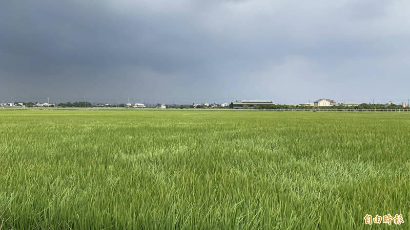 嘉南地區第1至4組二期作水稻灌溉,將在7月12日先恢復供灌。(記者楊金城攝)