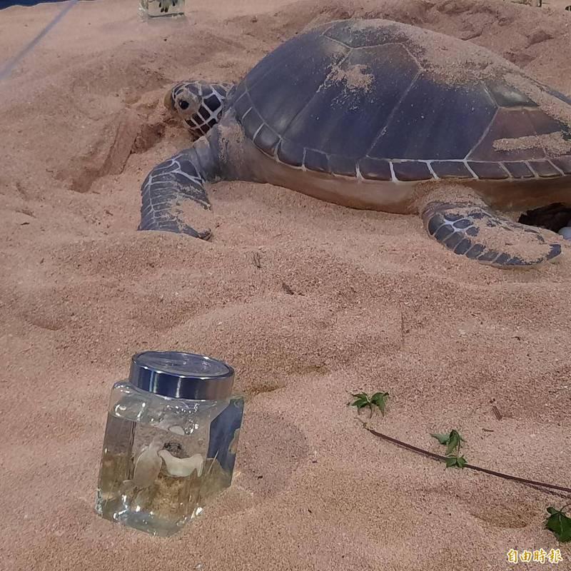 綠蠵龜對棲息地的忠誠度,母龜成熟後每2至4年返回棲息地產卵。(記者劉禹慶攝)