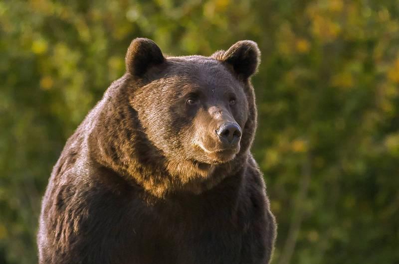 16歲少年因走小徑才會遇到棕熊,而國家公園工作人員持續追捕,在事發隔日早上終於找到棕熊並擊斃牠。示意圖。(歐新社)