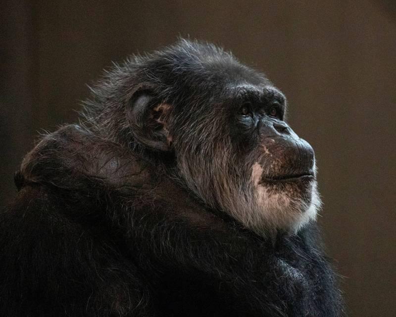 美國日前發生有女子自家養的黑猩猩突然衝出籠子後,發狂攻擊她女兒,警方最後將其猩猩一槍擊斃。(路透社)