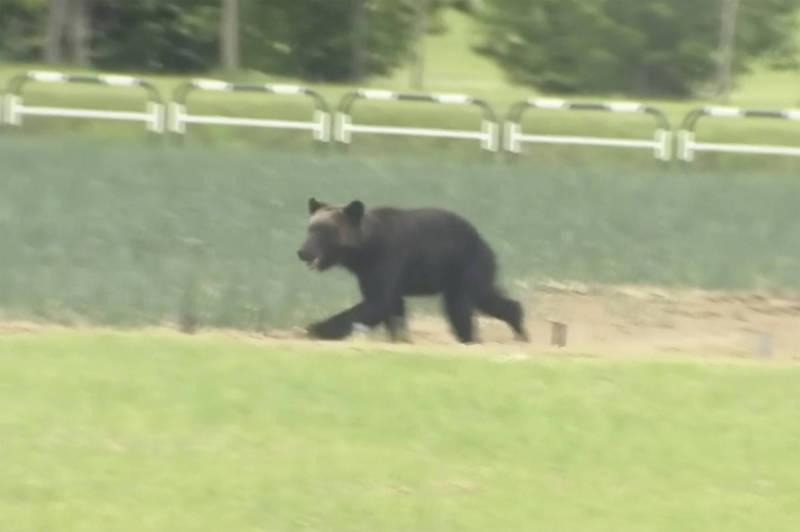 日本近期頻傳野熊出沒事件,山形縣一群小學生日前就目擊有野熊現蹤。圖為18日出現在日本札幌的野熊。(美聯社)