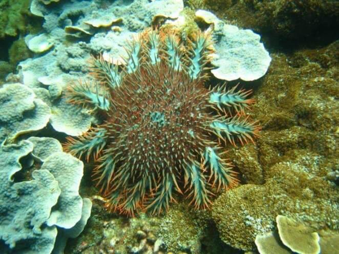 棘冠海星數量大爆發,造成太平島珊瑚礁生態大浩劫。(自然生態保育協會提供)