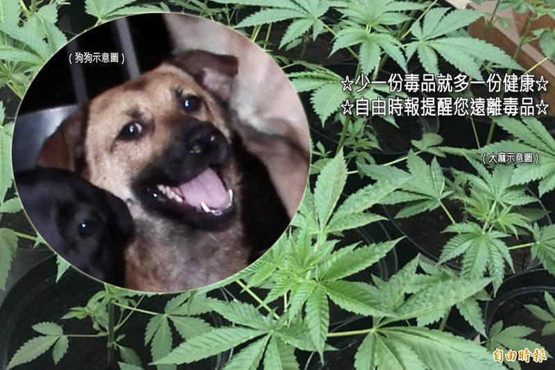 女子為餵食流浪狗大麻,竟然開闢了小型大麻園。(示意圖,資料照;本報合成)