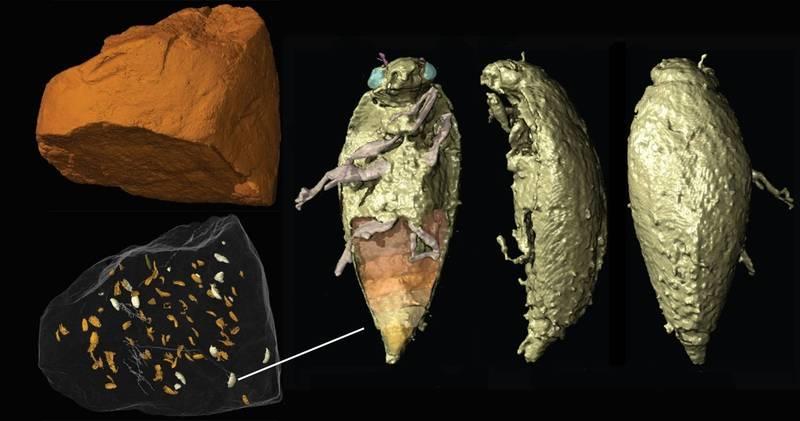 中山大學跨國研究團隊使用「同步輻射顯微攝影技術」,進行3D重建的糞便化石與龍糞三疊藻食甲蟲。(中山大學提供)