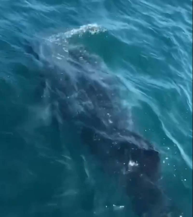 豆腐鯊現身澎湖南方四島與花嶼海域,動輒與船共舞。(民眾提供)