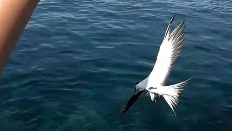 燕鷗搶食誘餌,不慎纏繞魚線。(愛釣布萊恩提供)