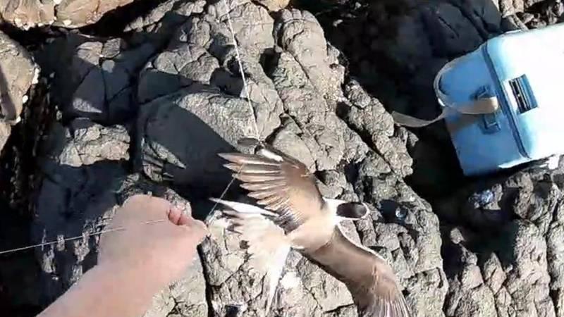 燕鷗被魚線纏繞,釣客協助搶救脫困。(愛釣布萊恩提供)