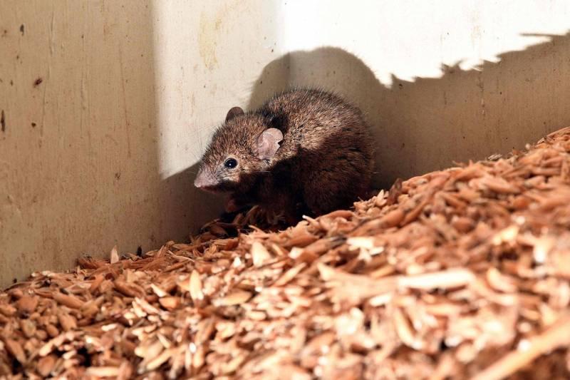 自今年3月澳洲東南部爆發鼠患,如今已迅速往其他地區蔓延,嚴然成為近30年來最嚴重的鼠患,而老鼠咬人事件層出不窮,有名婦人睡覺醒來,竟發現有隻老鼠在啃咬自己的眼球,嚇得她趕緊到醫院治療。(法新社)