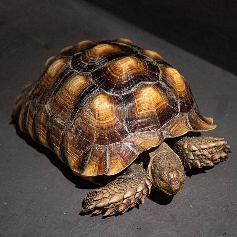 湖西隘門圓環一帶發現蘇卡達象龜,在大馬路上閒逛。(澎湖縣政府農漁局提供)
