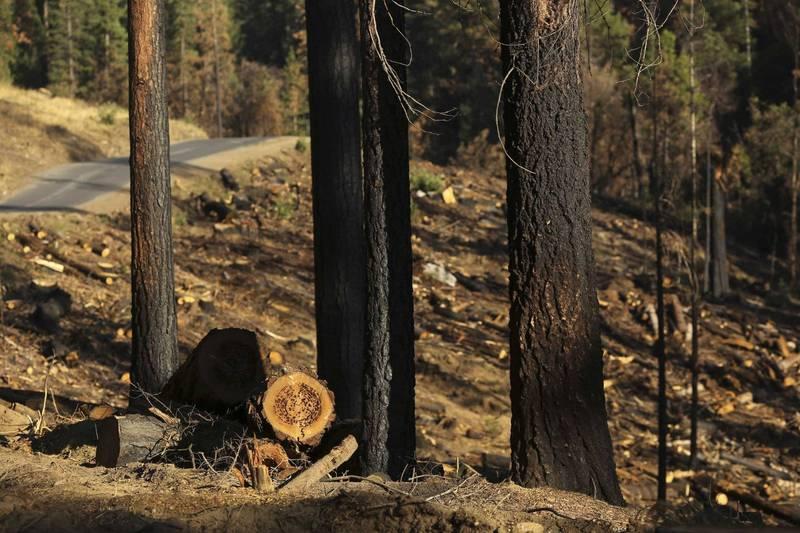 美國男子涉嫌盜伐樹木牟利,聯邦陪審團參照樹木DNA的比對結果將其定罪。美國樹木示意圖。(路透)