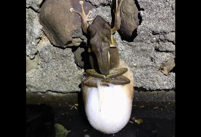 網友偶然間發現了一對樹蛙正在交配,還產下了許多「卵泡」。(圖取自臉書社團「爆廢公社公開版」)