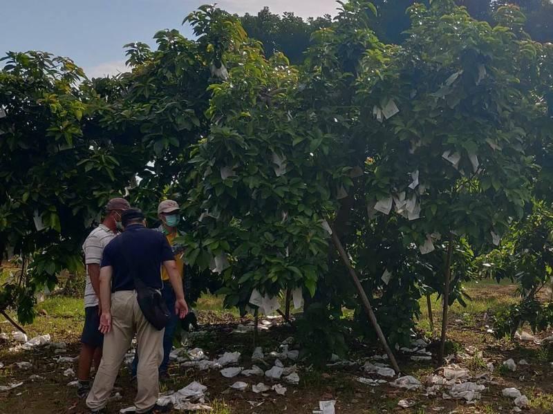 6月豪雨造成南市酪梨農損,農委會今公告大內區為天然災害救助及低利貸款地區,7月13日起至8月11日止,向土地所在地公所提出申請。(圖由南市農業局提供)