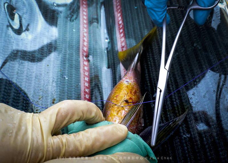 研究人員將發報器植入魚體腹部後縫合。(台東縣政府提供)
