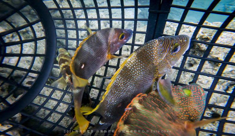 研判人員選定2尾三葉唇魚及2尾海雞母笛鯛活魚樣本進行測試。(台東縣政府提供)