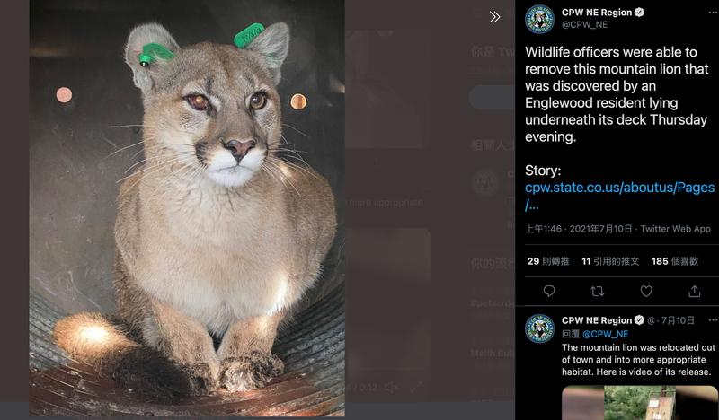美國科羅拉多州恩格爾伍德市的住宅區日前被民眾發現一隻重約27公斤的美洲獅,牠躲藏在一處民宅的露天平台下方。(圖取自CPW NE Region推特)