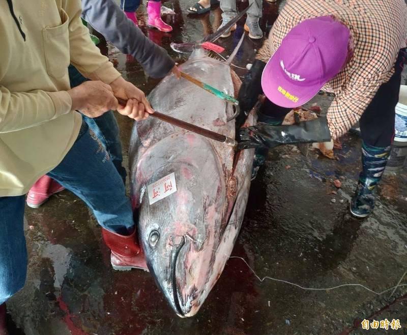 屏東黑鮪季今年漁獲量創下14年新高,價格卻低迷。(記者陳彥廷攝)