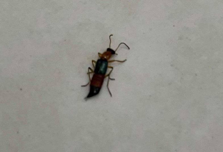 網友在社群平台PO文表示,家中出現某種昆蟲,即使用手捏牠也不太會死,詢問牠是何種蟲類,是否有害。(圖片擷取自「爆料公社」)
