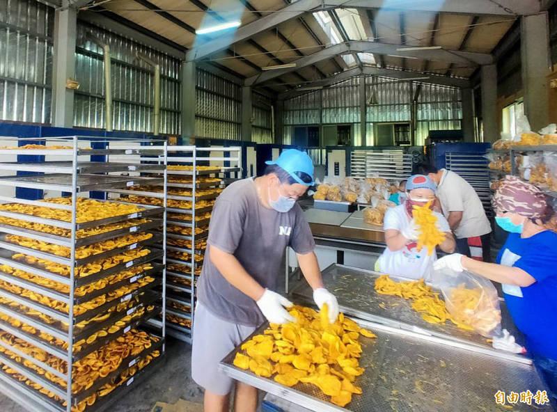 台南官田區農會芒果乾烘製場因應農民需求,全力開火烘製。(記者楊金城攝)