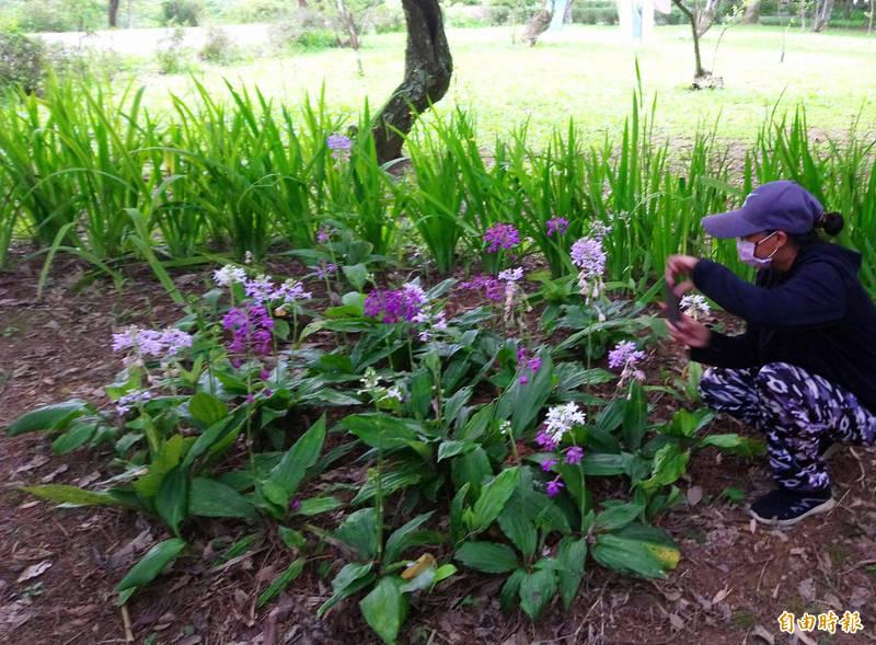 桃園市復興區角板山根節蘭花季登場,欣賞生長在森林的花仙子正是時候。(記者李容萍攝)