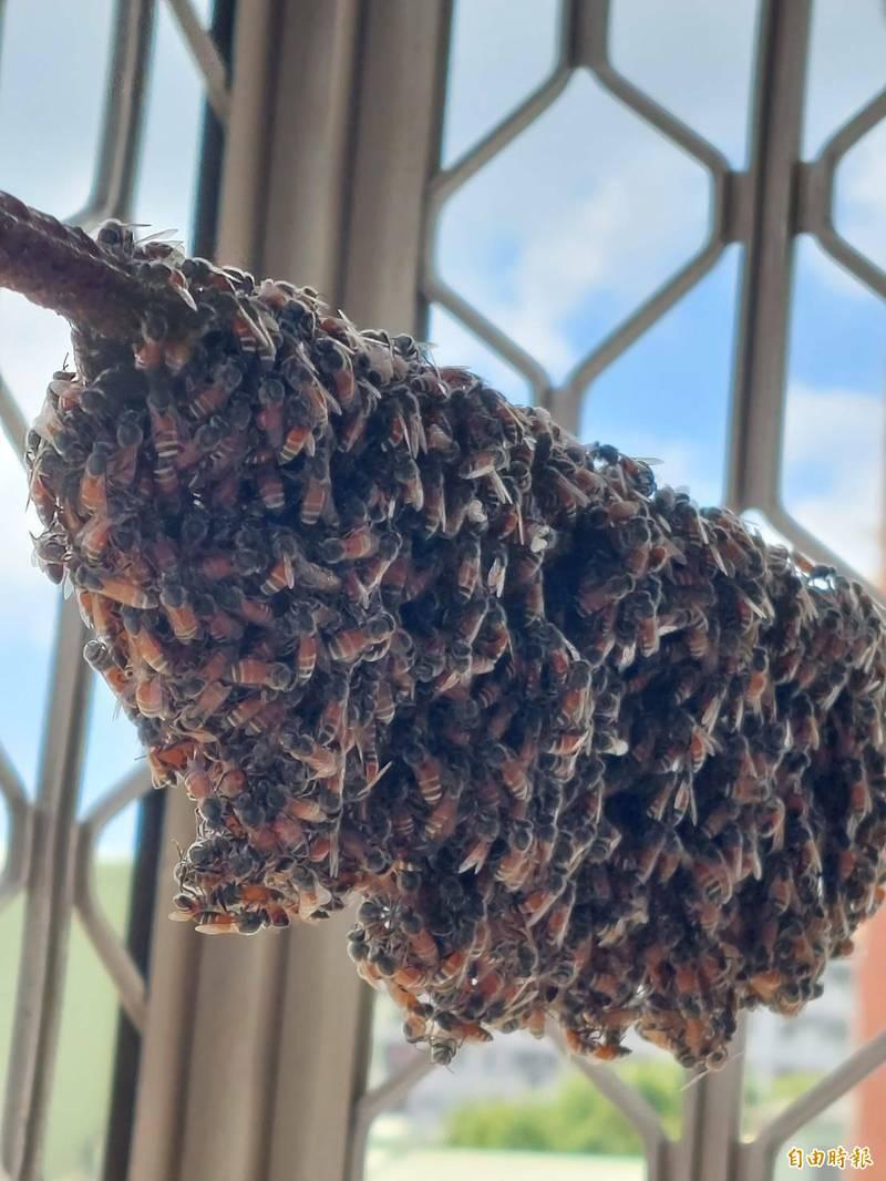 東南亞小蜜蜂侵台,高雄半年清除500件。(記者陳文嬋攝)