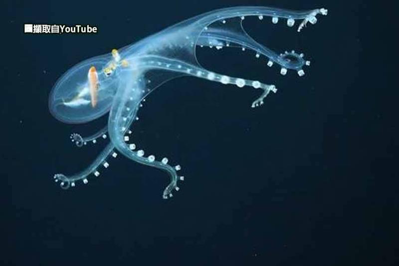 美國海洋研究機構「施密特海洋研究所」日前在位於太平洋的鳳凰群島海域探險時,發現一隻全身透明的「玻璃章魚」在深海悠游,讓網友大呼「超級美麗」!(本報合成)