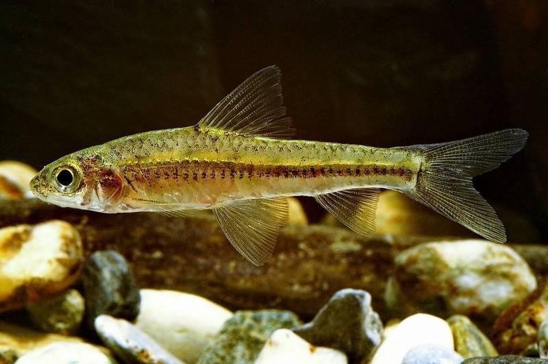 巴氏銀鮈屬於瀕臨絕種保育類野生動物,主要分佈中部烏溪流域。(特有生物研究保育中心提供)