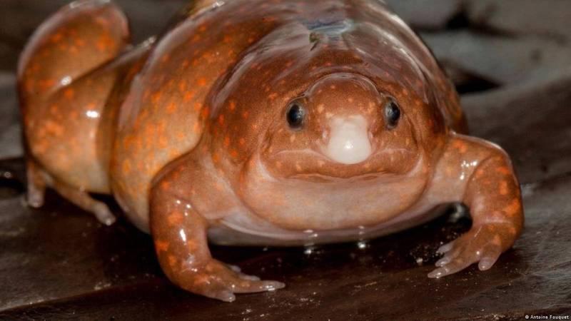 發現的「殭屍蛙」並非真的不死生物,而是因其特殊外表與習性而得名,被發現的成年個體體長約4公分,背面呈現淺棕色,上點綴有橙黃色圓點,腹部則與許多其他蛙類生物相同為淺白色。(擷取自臉書)