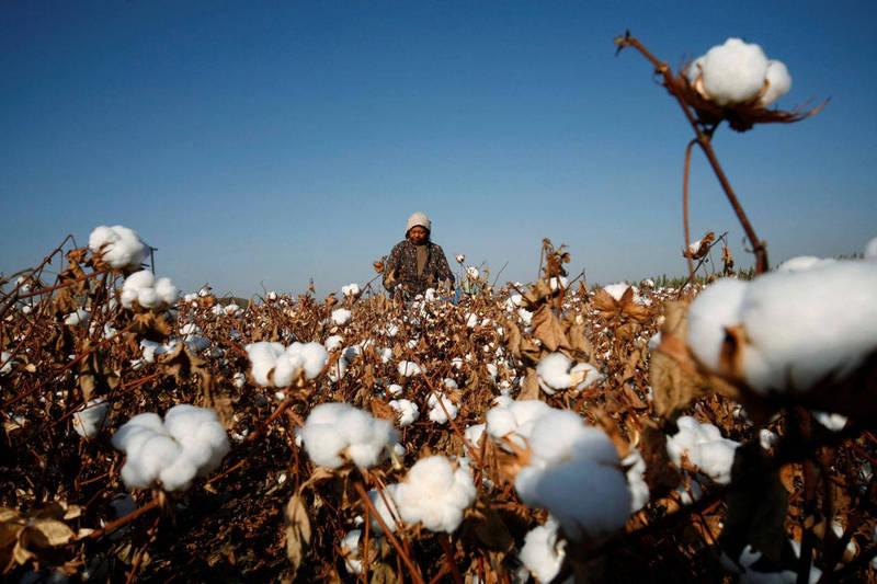新疆哈密郊外一處棉花田工作的工人。(路透檔案照)
