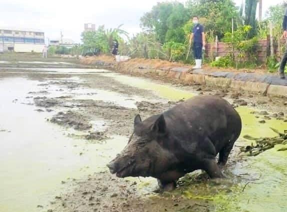[新聞] 阿婆養的2頭母豬「微解封」 逃奔田野興奮