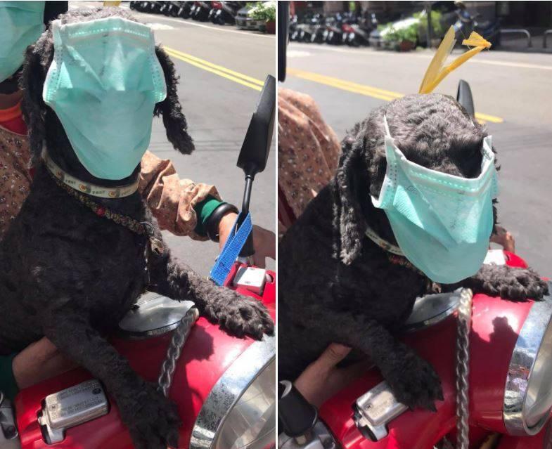 原PO今日在臉書社團「爆怨2公社」發文表示,他今天早上在路上看到1位婦人騎著摩托車戴著1隻貴賓狗,然而貴賓狗臉上卻戴著口罩。(圖取自臉書社團「爆怨2公社」)