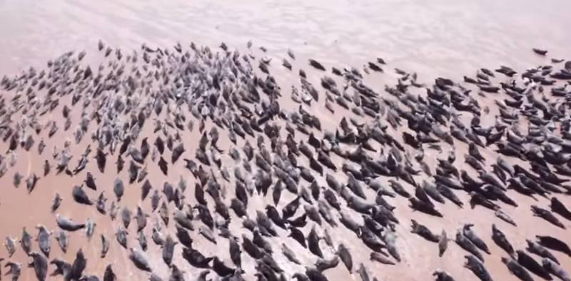 海豹「塊陶啊」!遊客空拍機驚擾 蘇格蘭警方認定違法