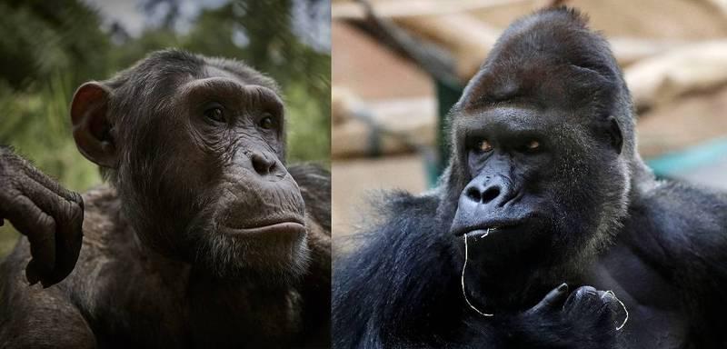 同屬靈長類的黑猩猩(chimpanzee)與大猩猩(gorilla)是智力與人類最接近的兩種生物。(左:歐新社、右:路透)