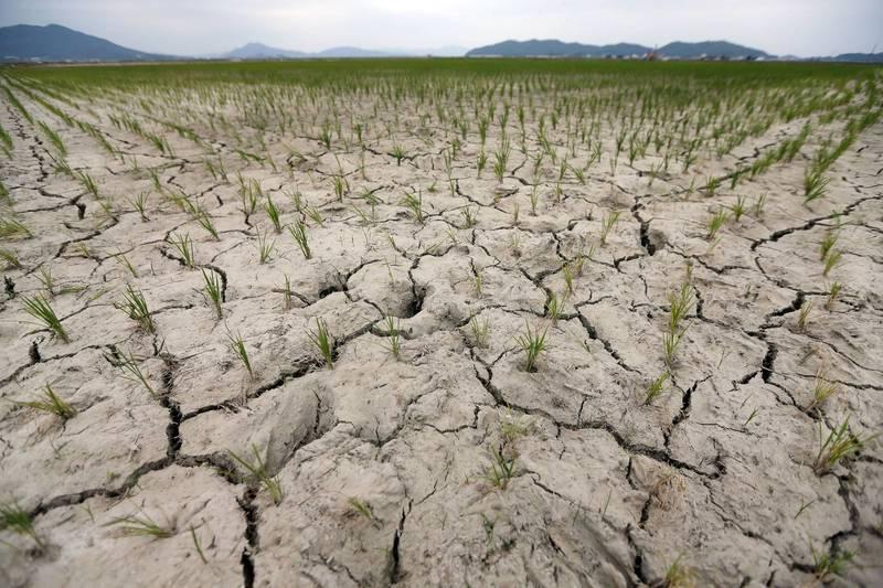 北韓傳連日乾燥高溫導致大面積農田遭逢嚴重乾旱。(法新社資料照)