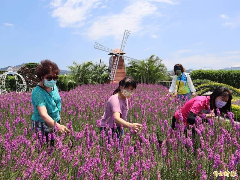 中社觀光花市「千屈菜」盛開,紫色小花,十分美麗。(記者歐素美攝)